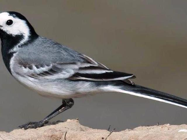 Humber Street - Pied Wagtail example